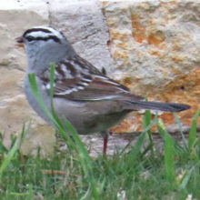 White-crowned Sparrow seen recently at the Ranch